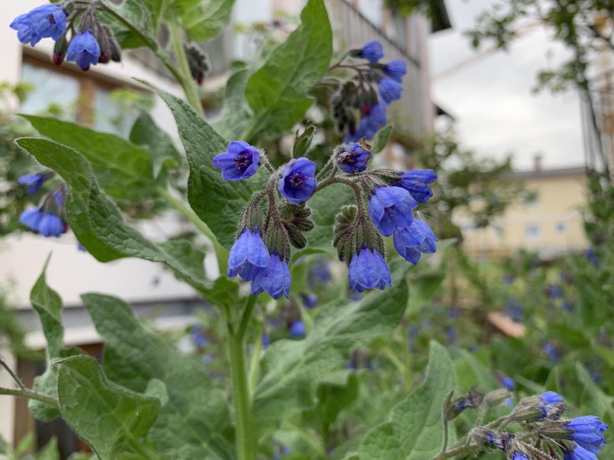 Garten Kaukasischer Beinwell Comfrey