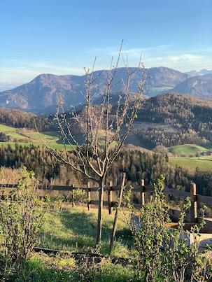 Apfelbaum Boscop Lederapfel Elisabeth Mitterschiffthaler
