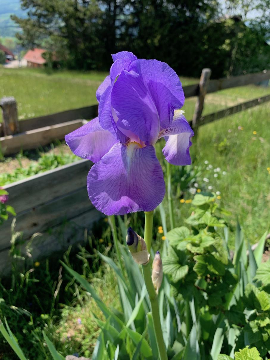 iris Bartiris Schwertlilie Blumen Garten blau Duft