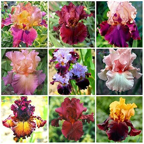 Iris Schwertlilie