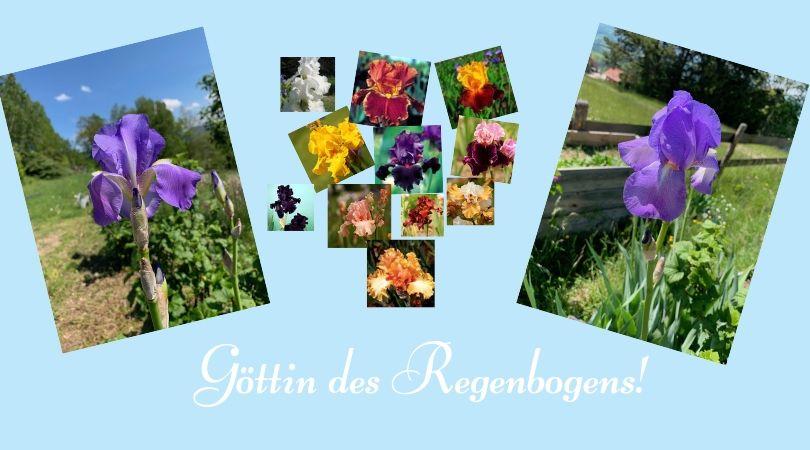 iris Bartiris Schwertlilie Blumen Garten blau Duft verblueht Göttin des Regenbogens