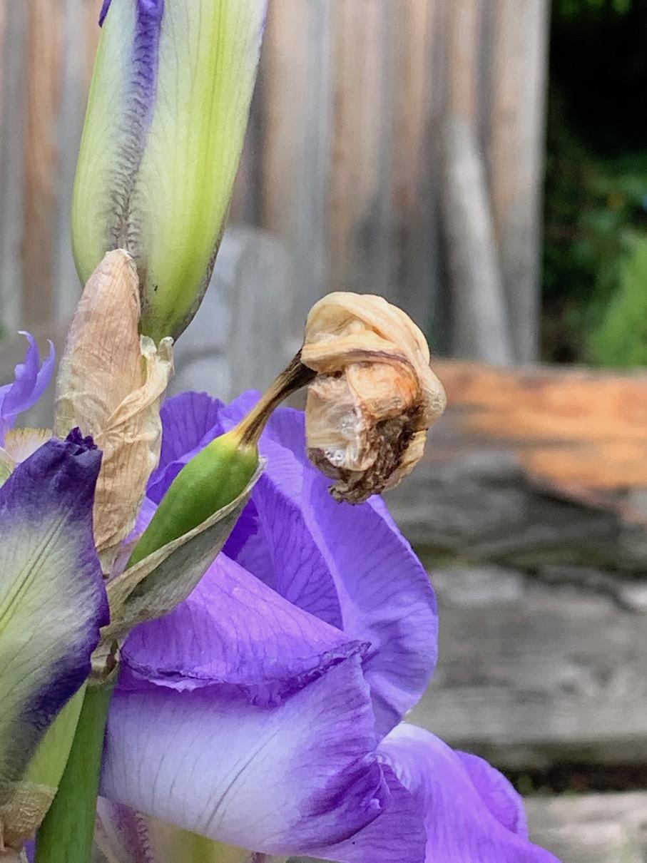 iris Bartiris Schwertlilie Blumen Garten blau Duft verblueht